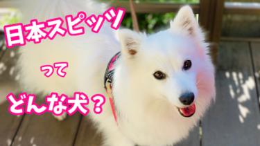 日本スピッツってどんな犬?