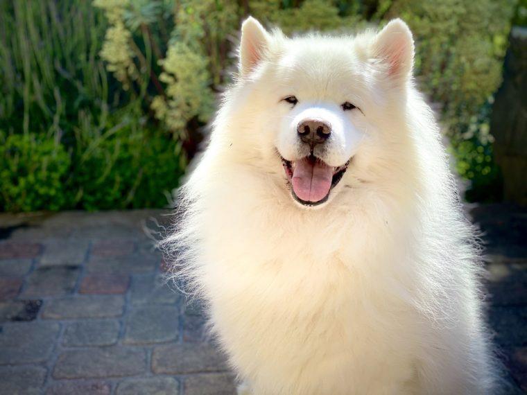 でかい 犬 白い